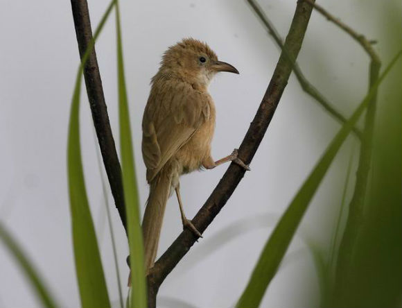 Birecik is the only accessible site for the rare Iraq Babbler.